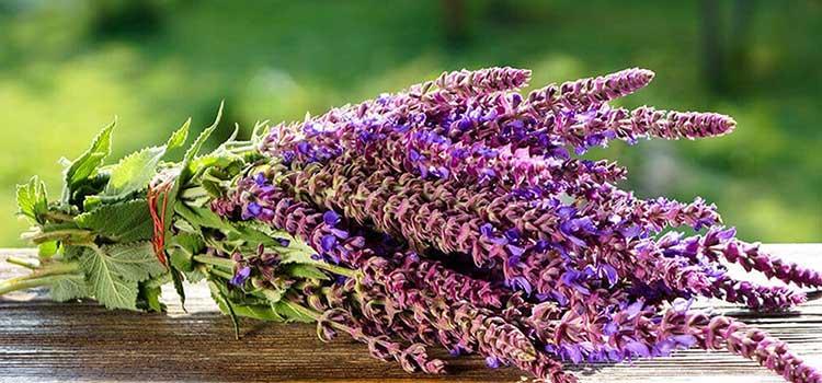 گیاه مریم گلی در مقاله خواص عسل مریم گلی