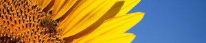عکس سر صفحه خواص عسل گل افتابگردان